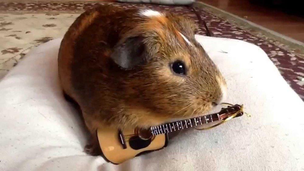 guinea pig with guitar.jpg